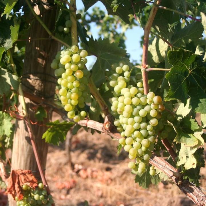 grappoli di uva vermentino nella vigna Jankara a San Leonardo, vicino Sant'Antonio di Gallura