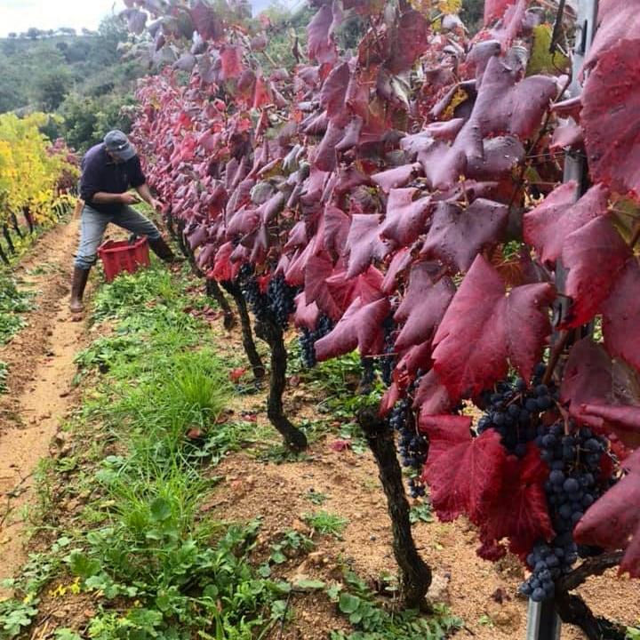 filare di vigna con foglie color viola e terra con erba verde, in fondo un uomo raccoglie l'uva