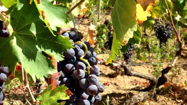 uva nera matura per la vendemmia nella vigna da cui si produce il vino Jankara Lu Nieddu