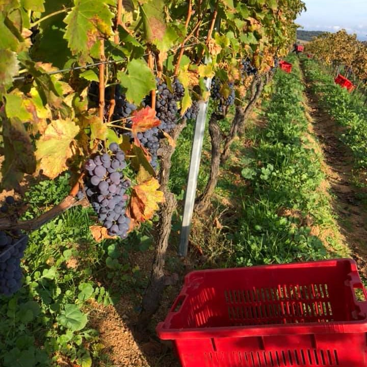 ripe Cannonau grapes being harvested in Jankara vineyard in Mamoiada Sardinia, into red plastic boxes